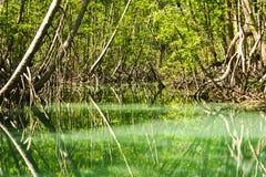 Mangrovenwald mit Green River und Anlagen Lizenzfreie Stockfotos