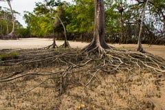 Mangrovenwurzeln Stockfotos