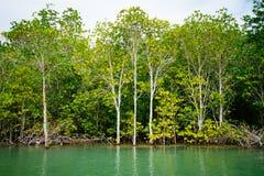 Mangrovenwurzeln erreichen in seichtes Wasser in einem Wald, der in t wächst lizenzfreies stockfoto