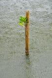 Mangroveplantor i regnet Arkivfoton