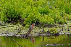 Mangrovereiher durch das Wasser Lizenzfreie Stockbilder