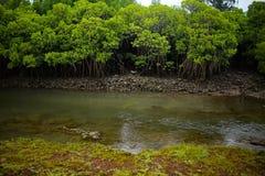 mangroves arkivfoton