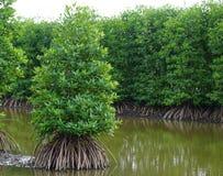 mangroves royaltyfri bild
