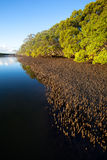 Mangroves. Landscape of mangroves within a waterway river way with extensive pneumatophores Royalty Free Stock Image