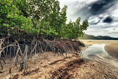 Mangroves Royalty Free Stock Photography