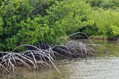 Mangroves Royalty Free Stock Photos