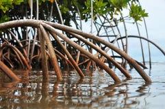 Mangroves Royalty Free Stock Photo