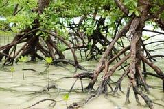 Mangroves Royalty Free Stock Photography