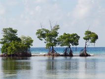Mangroves Royalty Free Stock Photos
