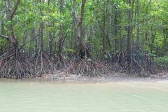 mangroves Fotografia de Stock
