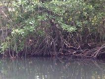 mangroves Arkivfoto