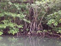 mangroves Arkivbilder