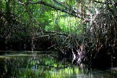 mangroves fotografering för bildbyråer