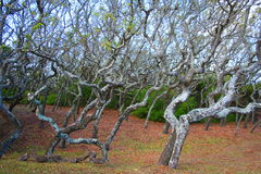 Mangroves. Florida's mangroves twisted by nature Stock Image