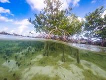 mangroves Fotos de Stock