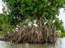 Mangroves in the Amazon. Egrets Nesting in Mangroves Growing in the Amazon Region in North Brazil Stock Image