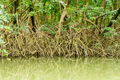 Mangroves in the Amazon. Mangroves Growing in the Amazon Region in North Brazil Royalty Free Stock Images