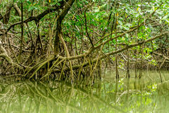 Mangroves in the Amazon. Mangroves Growing in the Amazon Region in North Brazil Stock Image