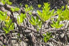 Mangroves in Andaman beach, India Stock Photography