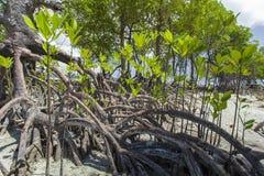 Mangroves in Andaman beach, India Stock Photo