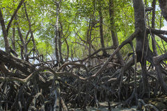 Mangroves in Andaman beach, India Royalty Free Stock Photos