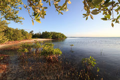 Mangroves in the Atlantic Ocean. Stock Photography