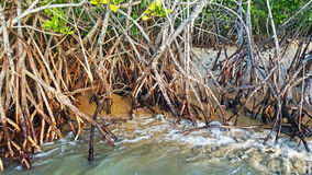 Mangroves at the beach Royalty Free Stock Images