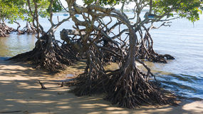 Mangroves on beach Royalty Free Stock Photos
