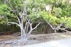 Mangroves  Royalty Free Stock Image