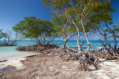 Mangroves at caribbean seashore, Cuba. Mangroves at caribbean seashore,Cayo Jutias beach, Province Pinar del Rio, Cuba Stock Photo