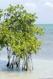 Mangroves, Caye Caulker. Mangrove in Caye Caulker, Belize Royalty Free Stock Photo