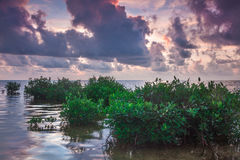 Mangroves in Caye Caulker Royalty Free Stock Images