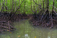 Mangroves in dark water at low tide Stock Images