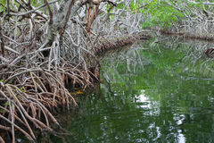 Mangroves in the Florida everglades Stock Image