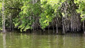 Mangroves forest. Mangrove forest on the banks of Black River in Jamaica stock footage