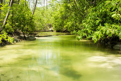 Mangroves forest on tropical island. Mangroves forest and green clear pond on tropical island in southern part of Thailand Royalty Free Stock Photography