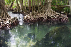 Mangroves forest. Unseen in thailand Tha Pom mangroves forest, Krabi, Thailand Royalty Free Stock Photography