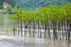 Mangroves in Green water at beach Royalty Free Stock Photography