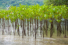 Mangroves in Green water at beach Stock Photos