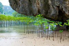 Mangroves in Green water at beach Stock Photography