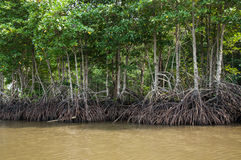 Mangroves in Green water at low tide Stock Images