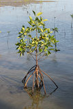 Mangroves growing Royalty Free Stock Photography