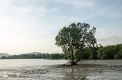 Mangroves growing in shallow lagoon Royalty Free Stock Images