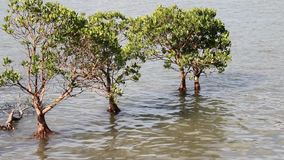 Mangroves growing on the water stock video footage