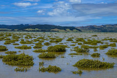 Mangroves in Hokianga Estuary Stock Image
