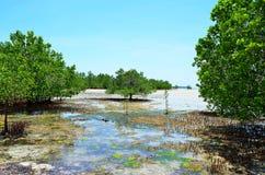 Mangroves i en låg tide, Zanzibar, Tanzania royaltyfri foto