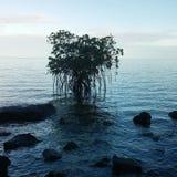 Mangroves i Fiji arkivfoton