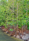 Mangroves in India Stock Images