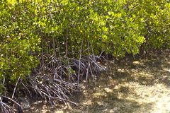 Mangroves in the keys Royalty Free Stock Photography