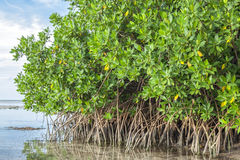Mangroves in lagoon Stock Photography